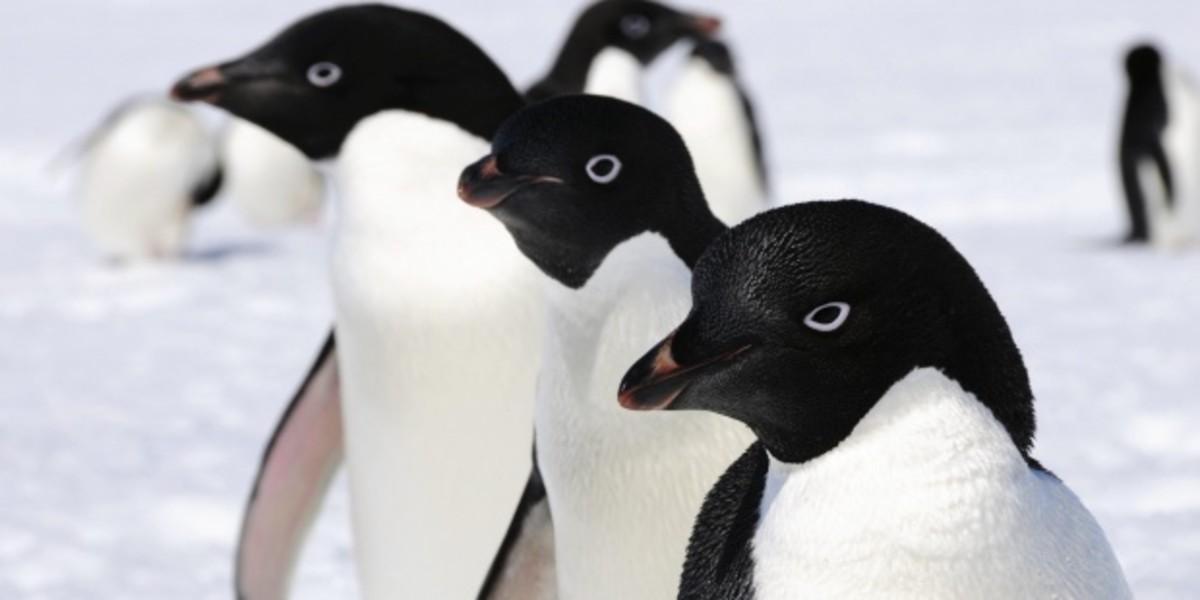 Pingüinos adelaida prensalibreonline.com.ar